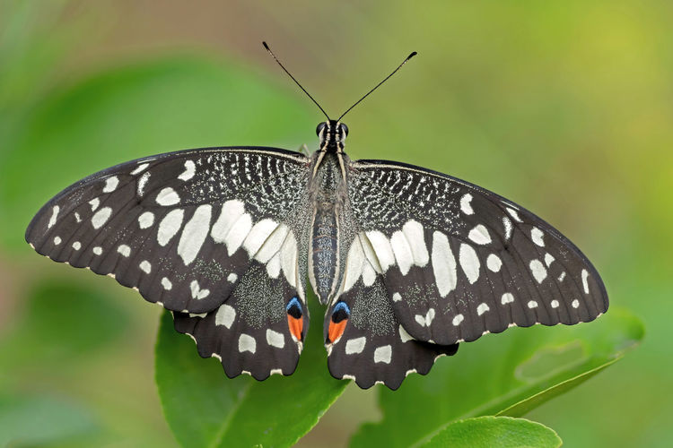 Nature Animal Day Butterfly Outdoors Insect Invertebrate Close-up Beauty In Nature No People Animals In The Wild Natural Pattern Green Color Animal Themes One Animal Focus On Foreground Animal Wildlife Animal Wing Animal Antenna Butterfly - Insect Animal Markings Plant Part Lime Butterfly