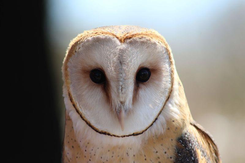 A photograph of a barn owl.