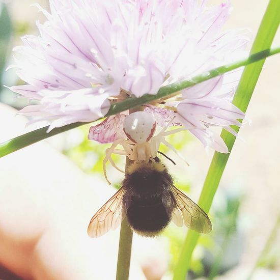 Honey Bee Crab