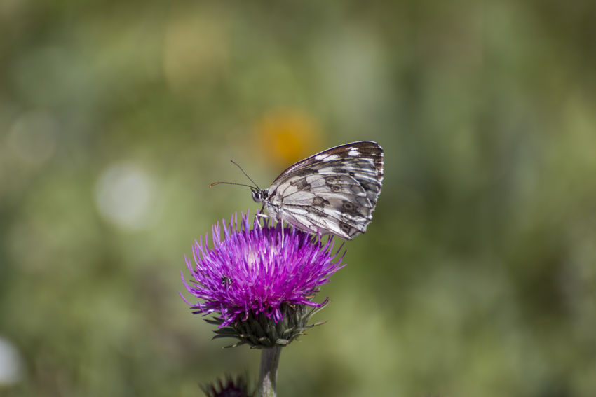 marbled white Melanargia Galathea Animal Themes Animals In The Wild Beauty In Nature Butterfly Butterfly - Insect Close-up Day Flower Flower Head Focus On Foreground Fragility Freshness Growth Insect Marbled White Nature No People One Animal Outdoors Plant Pollination
