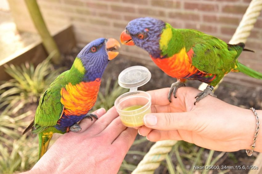 Samen vogeltjes voeren Human Hand Hand Parrot Holding Real People Human Body Part Feeding  Animal Wildlife Multi Colored Lifestyles Outdoors Rainbow Lorikeet Eating First Eyeem Photo