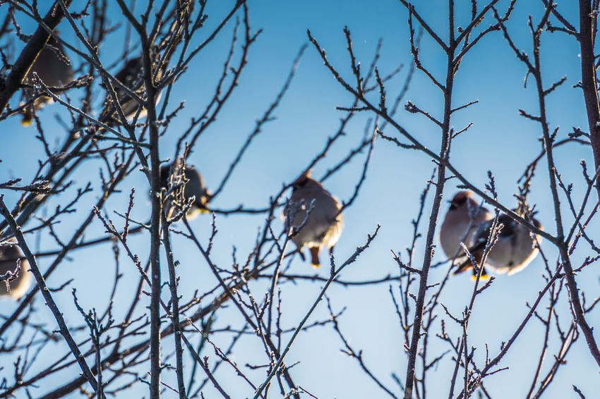 Wintertime Animal Animal Themes Animal Wildlife Animals In The Wild Bare Tree Bird Branch Cold Temperature Day Group Of Animals Low Angle View Nature No People Outdoors Perching Plant Sky Snow Tree Vertebrate Waxwing Waxwings Winter