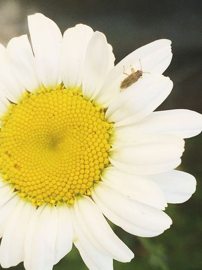 Flowers at the Volcano. Flower Petal Fragility Freshness Flower Head Beauty In Nature White Color Nature Pollen Growth Close-up Day Yellow No People Outdoors Blooming Stamen Plant Growth Bug On A Flower Close Up Flower