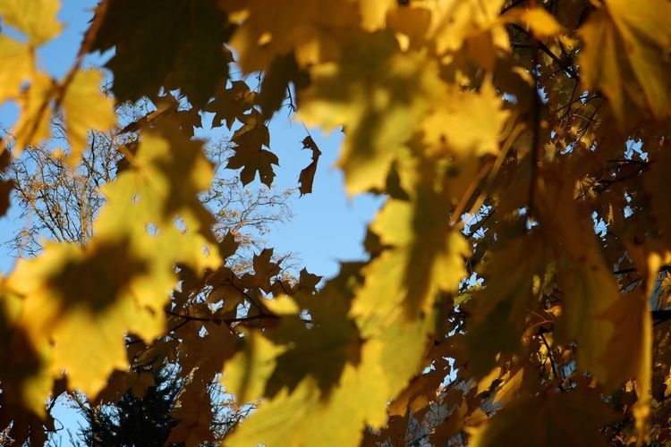 Plant Tree Growth Beauty In Nature Yellow Leaf Autumn Plant Part Change Nature No People Tranquility Branch Low Angle View Selective Focus Day Close-up Sky Outdoors Sunlight Maple Leaf Leaves Autumn Collection Natural Condition