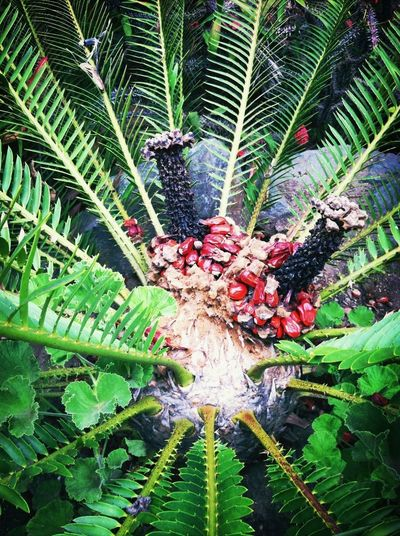 Plants, Dates From Encephalartos Iemannii, So. Africa