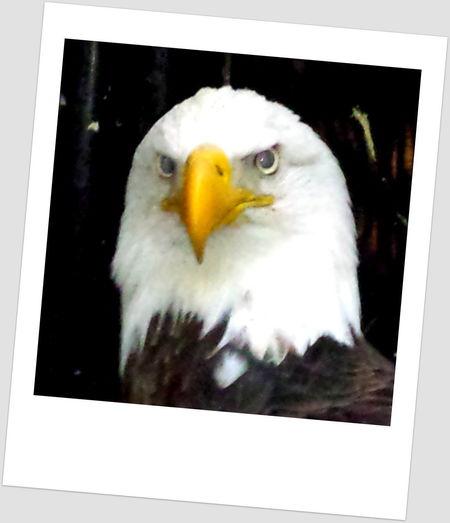 Bald Eagle Polaroid portrait. Bald Eagle Bald Eagle Portrait Nature Proud Raptor Animal Themes Bald Eagle Close-up Bald Eagle Polaroid Bird Bird Of Prey Close-up Eagle Close-up Eagle Portrait Eagle Rehabilitation Mug Shot Polaroid Polaroids Raptor Rehabilitation Snapshot