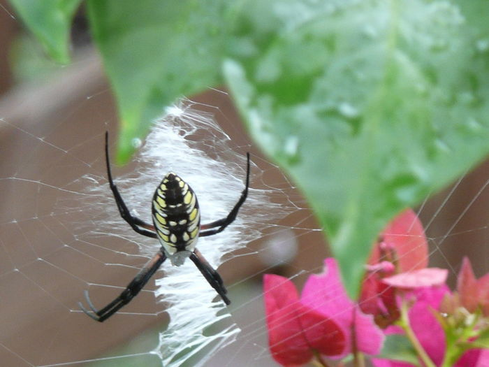 Writingspider Standrewscrossspider Gardenspider Focus On Foreground Single Flower One Animal Insect Animal Themes Animals In The Wild Wildlife Spider Web Spider Close-up Focus On Foreground Fragility Nature Day Zoology Invertebrate Outdoors Beauty In Nature No People Freshness