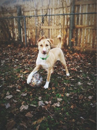 It's soccer dog! Soccer Soccer⚽ Sports Dog Canine Companion Canine Soccer Dog Sports Dog Animals Puppy Pitbull Husky Mix Pitbull Love Pitbull Puppy