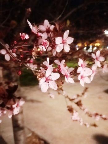 Night Sakura In Serbia EyeEm Best Shots EyeEmNewHere EyeEm Nature Lover Eye4photography  Flower Head Tree Flower Branch Springtime Pink Color Blossom Petal Cherry Tree Cherry Blossom