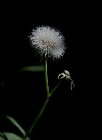 Dandelion Dandelionseed Dandelion Seeds Dandelionfluff Diente De León Dientedeleon Beautiful Nature Spring Into Spring