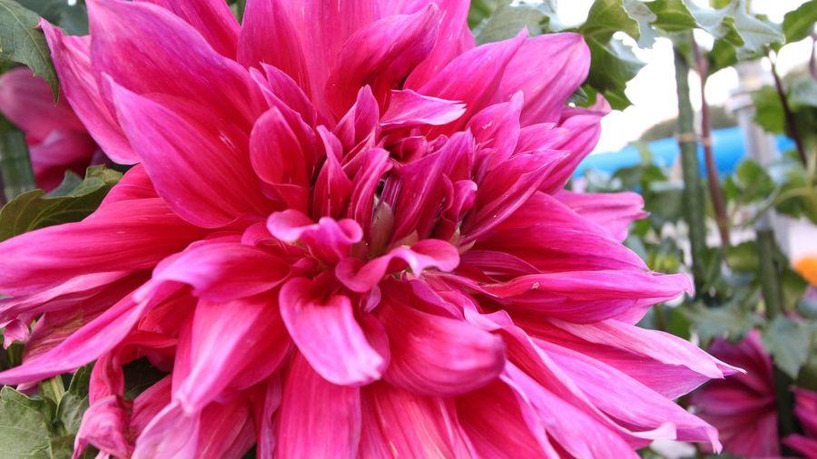 BIG Flower Pink
