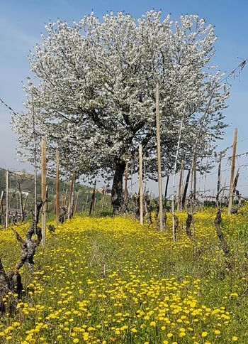 Yellow Growth Nature Plant No People Outdoors Beauty In Nature Flower Tree Day Sky Agriculture Fragility Abundance Sunlight Flowerbed Vineyard Tranquility Piedmont Italy Langhe Roero EyeEmNewHere Spring Blooms Freshness Idyllic