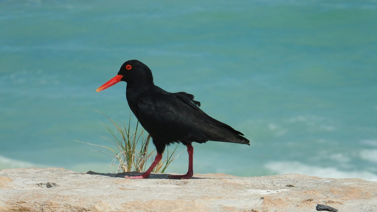 Side View Of Black Oystercatcher On Beach