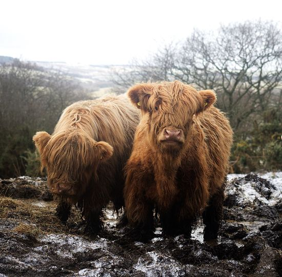 Highland cattle Farm Highland Cattle. Landscape Highland Cattle Animal Wildlife Nature Animal Themes No People Mammal Day