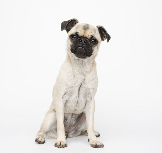 Animal Animal Themes Canine Copy Space Dog Domestic Domestic Animals Indoors  Lap Dog Looking At Camera Mammal No People One Animal Pets Portrait Pug Small Studio Shot Vertebrate White Background Young Animal