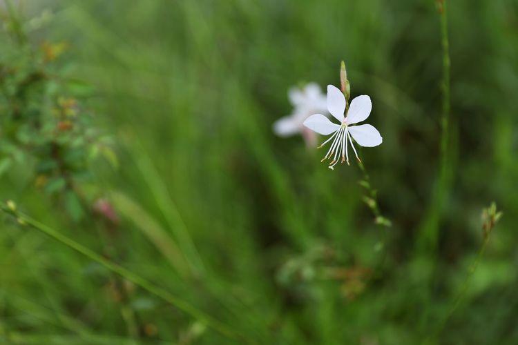 청초하다.. - 가우라 . . #하루한컷 #제주도 #에코랜드 #가우라 #5DMARK4 #신계륵 #EF2470F28LIIUSM Flower Flower Head Springtime Butterfly - Insect Leaf Summer Close-up Plant Grass