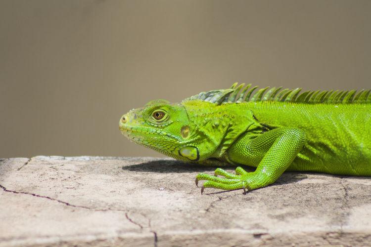 Verde como las plantas #animal #foto #iguana #photo #photography #santodomingo #schoolflow #verde First Eyeem Photo