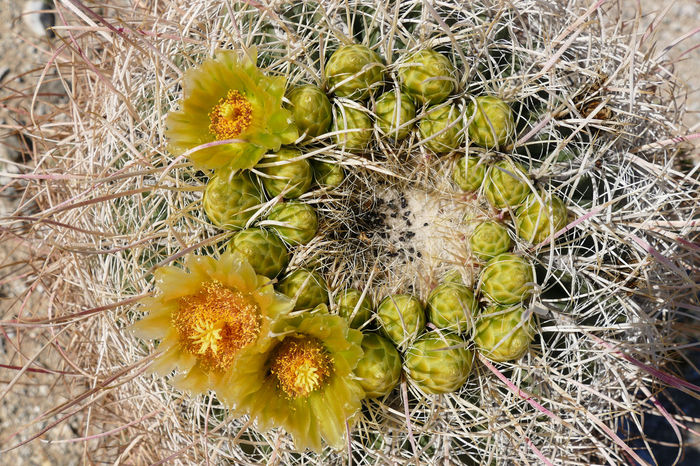 Barrel Cactus Barrel Cactus Flower Close-up Day Desert Wildflowers Desert Wildflowers Freshness Growth High Angle View Nature No People Outdoors Superbloom Travel Destinations Wildflowers Yellow