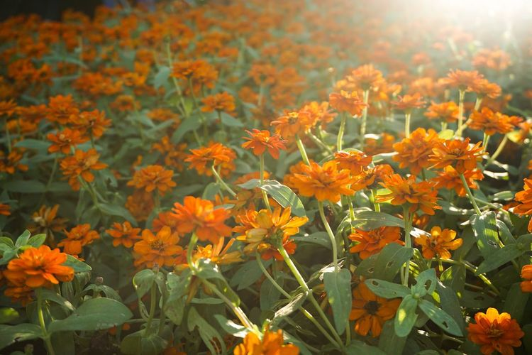 Light Morning Orange Sunlight Zinnia  Zinnia Angustifolia Beauty In Nature Bloom Blooming Blossom Close-up Color Day Field Flora Floral Flower Flower Head Foliage Fragility Freshness Garden Growth Leaf Leaves Light And Shadow Marigold Narrowleaf Zinnia Nature No People Orange Color Outdoors Petal Plant
