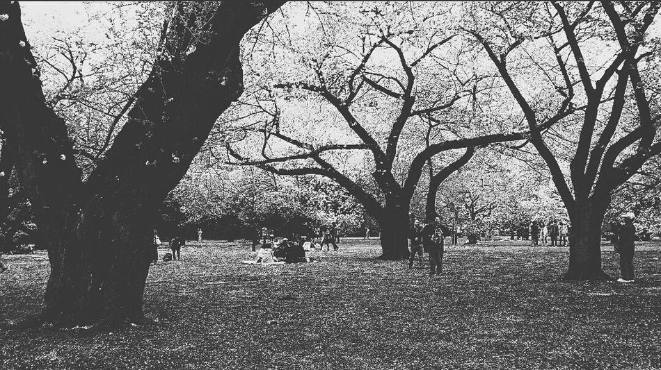 Shinjuku Gyoen National Garden 1500 Cherry Trees Spring 2015 Sakura 桜花 Cherry Blossoms Travel Photography Tokyo, Japan Black & White