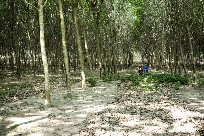 rubber plantation Rubber Plantation Adult Adults Only Beauty In Nature Day Nature One Man Only One Person Outdoors People Real People Tranquility Tree Tree Trunk