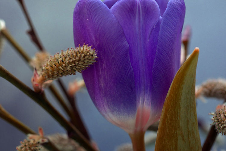 Tulips Flowering Plant Flower Growth Plant Vulnerability  Fragility Close-up Beauty In Nature Freshness Flower Head Petal Focus On Foreground No People Selective Focus Nature Day Springtime Pollen Purple Softness Soft Focus Makro Tulpe Blüte Nature_collection
