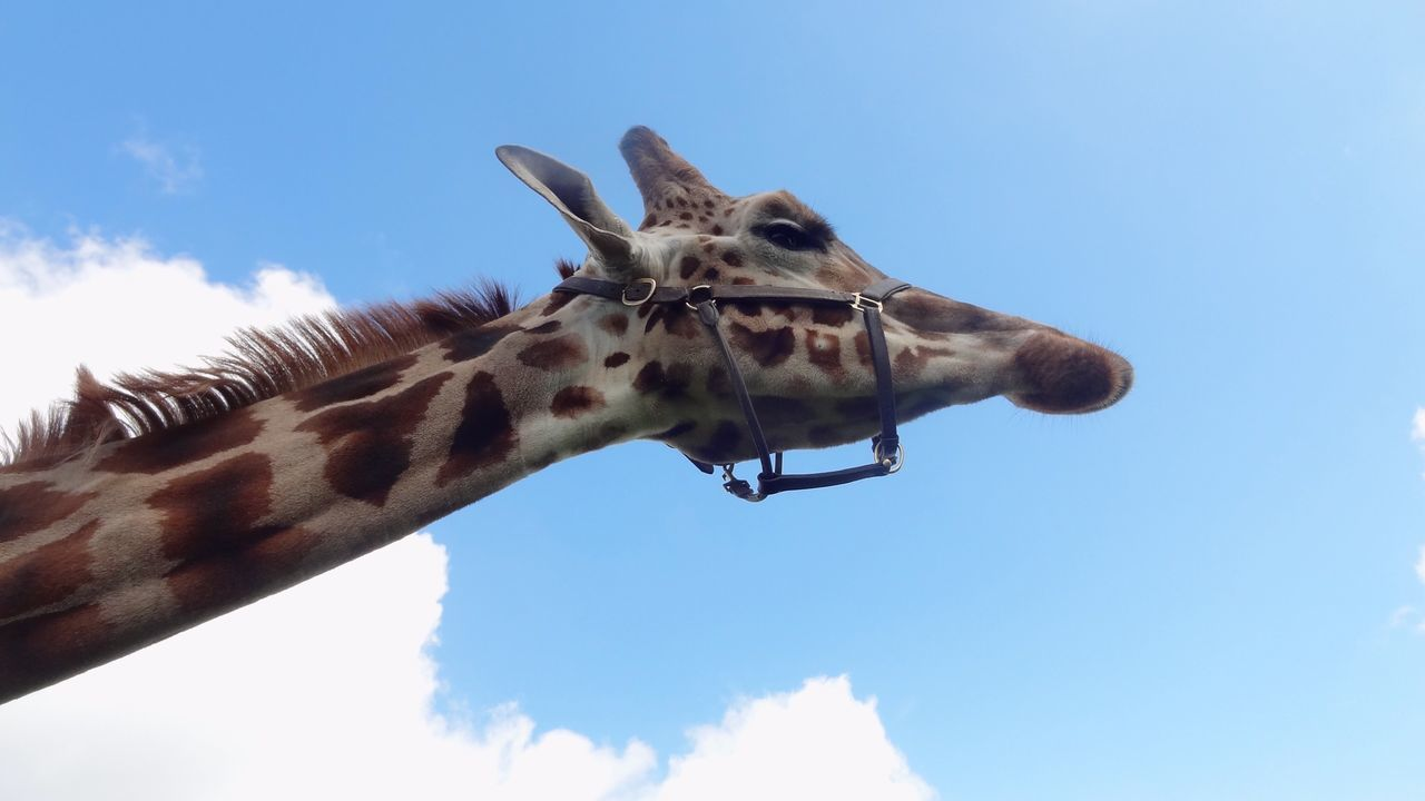 low angle view, one animal, day, sky, animal themes, giraffe, outdoors, mammal, blue, animals in the wild, nature, no people, close-up