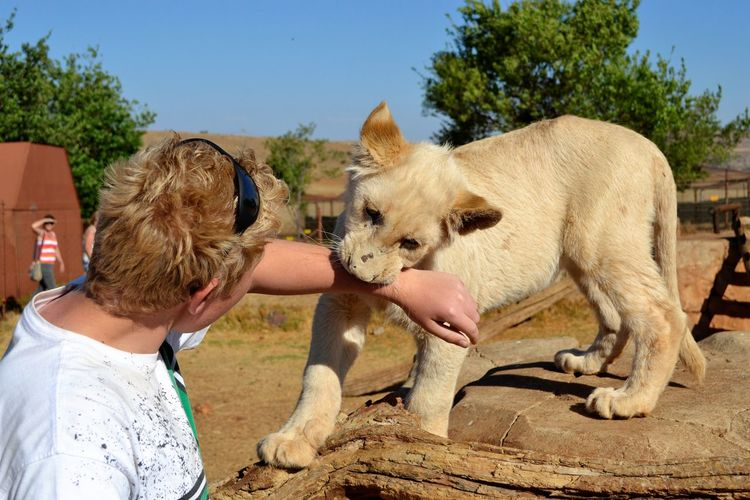 Playful lion cub Animal Interaction With Humans Cub Biting Boy Arm Cub Biting Softly Cute Lion Cub Friendship Human Body Part Lion Cub One Animal Outdoors Playing With The Animals
