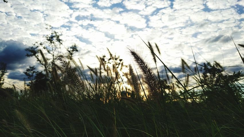 Grass Field Nature Beauty In Nature Plant Sky Cloud - Sky Sunset Outdoors Wind Cumulocirrus Silluettes And Sky Fox Tail