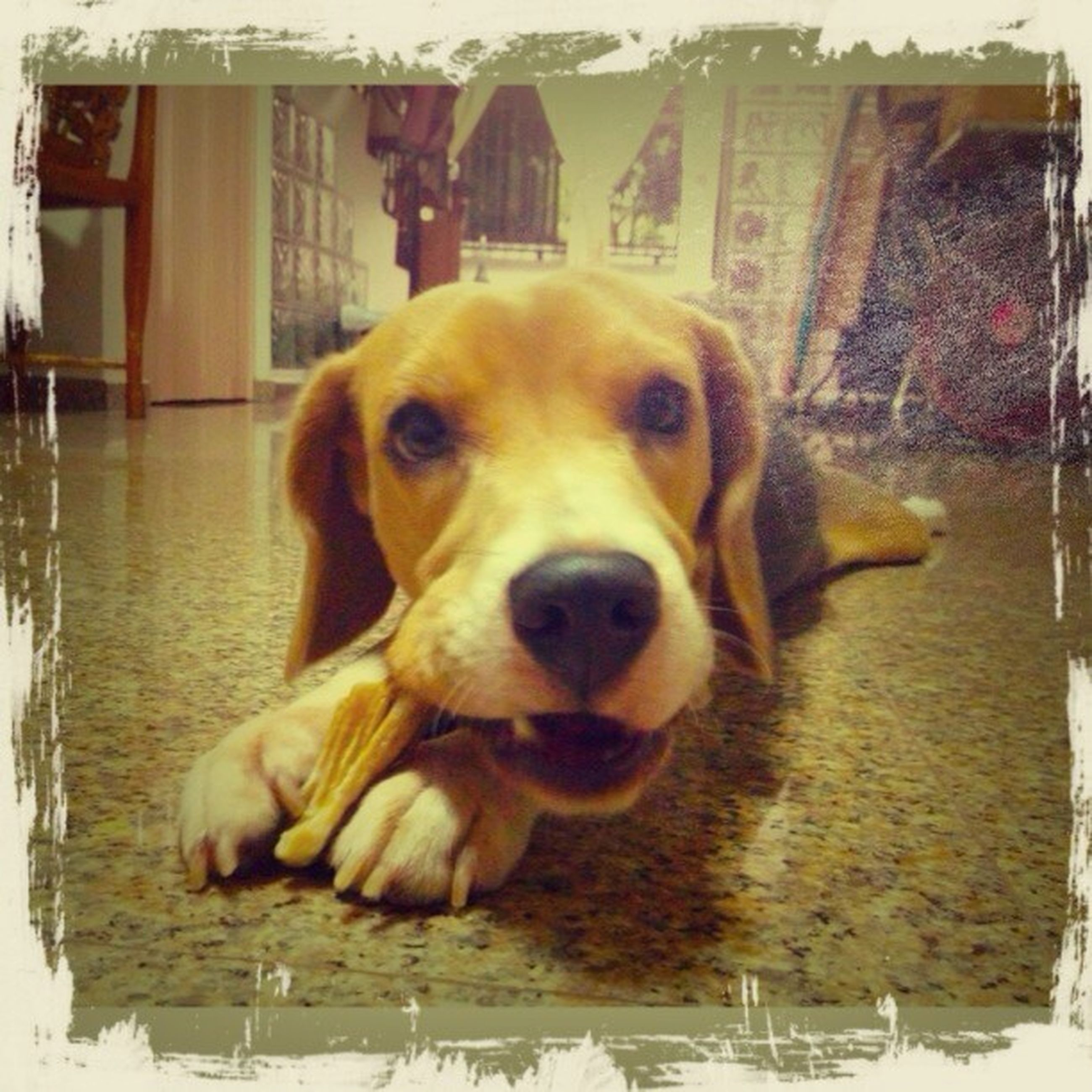 dog, pets, domestic animals, animal themes, one animal, mammal, indoors, relaxation, portrait, looking at camera, sitting, resting, auto post production filter, transfer print, no people, lying down, close-up, day, table, puppy