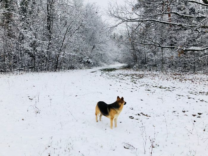 German shepherd exploring the forest covered in snow in winter