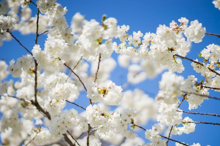 Clouds or Flowers Abundance Beauty In Nature Blooming Blossom Blue Botany Branch Cloud Day Flower Freshness Growth In Bloom Low Angle View Nature Orchard Petal Sky Spring Springtime Tree Twig White Color