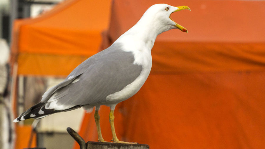 Side View Of Seagull On Wooden Pole
