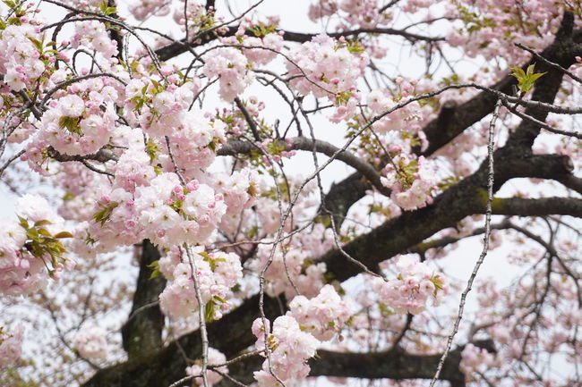 Springtime Japan Tokyo Cherry Blossoms Sakura EyeEm Selects Tree Flower Flower Head Branch Springtime Plum Blossom Pink Color Blossom Twig Spring Blossoming