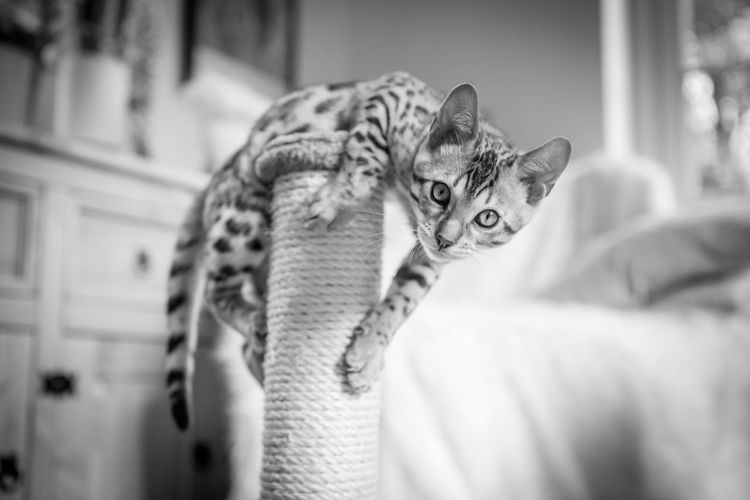 Animal Themes Animals In The Wild Bengal Bengal Cat Bengals Cat Close-up Cute Day Indoors  Kitten Leopard Mammal No People One Animal Spots Spotted Stripes Pattern Tiger You