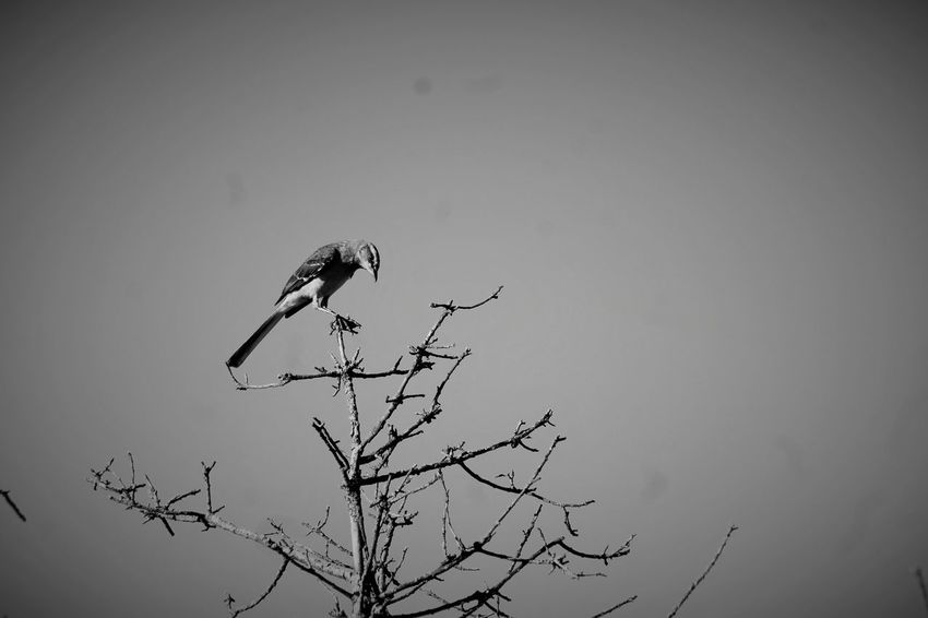 Animal Themes Animal Wildlife Animals In The Wild Bare Tree Beauty In Nature Bird Bird Of Prey Branch Day Nature No People One Animal Outdoors Perching Sky Spread Wings Tree