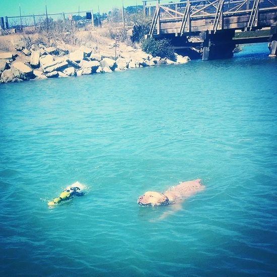Swimming Jrt Jackrussell Parsonjackrussell Puppy Buddies Doge Dogpark Fetch Alternative Fitness