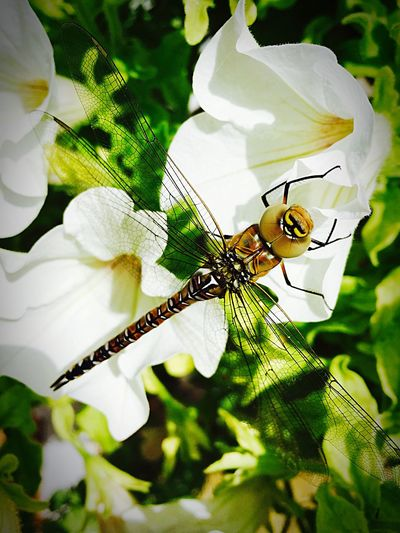 Dragonfly London Garden Hangingbasket Whiteflower Insects  Insect Insect Photography This was greeting me at the front door this afternoon.