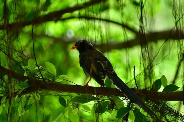 chasing a Bird in the woods The Great Outdoors - 2019 EyeEm Awards The Street Photographer - 2019 EyeEm Awards Purist No Edit No Filter Beauty In Nature Bird Perching Tree Branch Full Length Forest Black Color Red Animal Themes Green Color