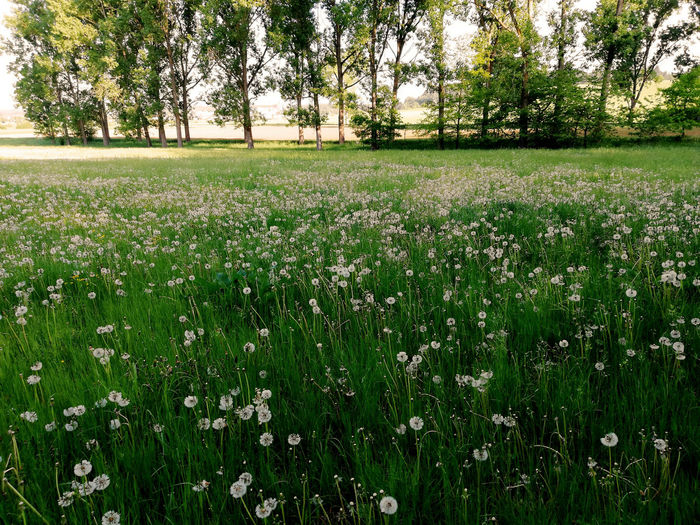 Beauty In Nature Blowball Blowballs Dandelion Field Grass Green Color Growth Landscape Rural Scene Scenics - Nature Springtime Tranquil Scene Tranquility