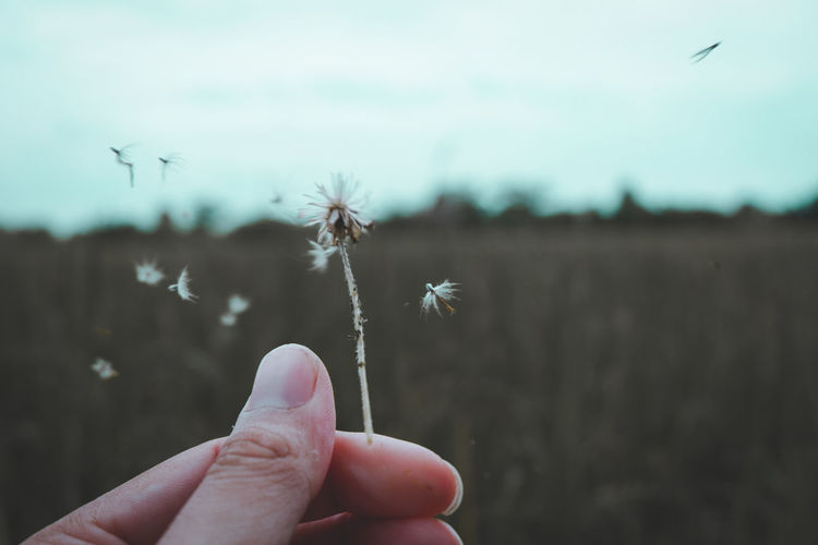Close-up of hand holding dandelion