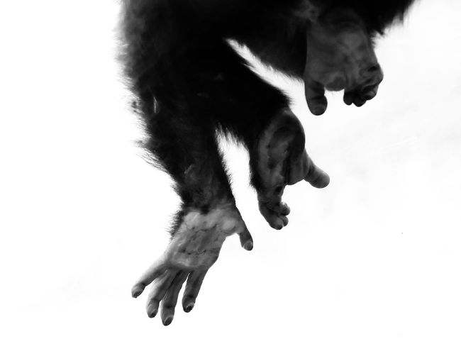 B&w Beauty In Nature Black And White Blackandwhite Chimp Chimpanzee Close-up Contrast Day Detail EyeEm EyeEm Best Shots EyeEm Best Shots - Nature EyeEm Gallery EyeEm Nature Lover Feet Grip Looking Up Mammal One Animal Outdoors Primate Relative Sky Wildlife