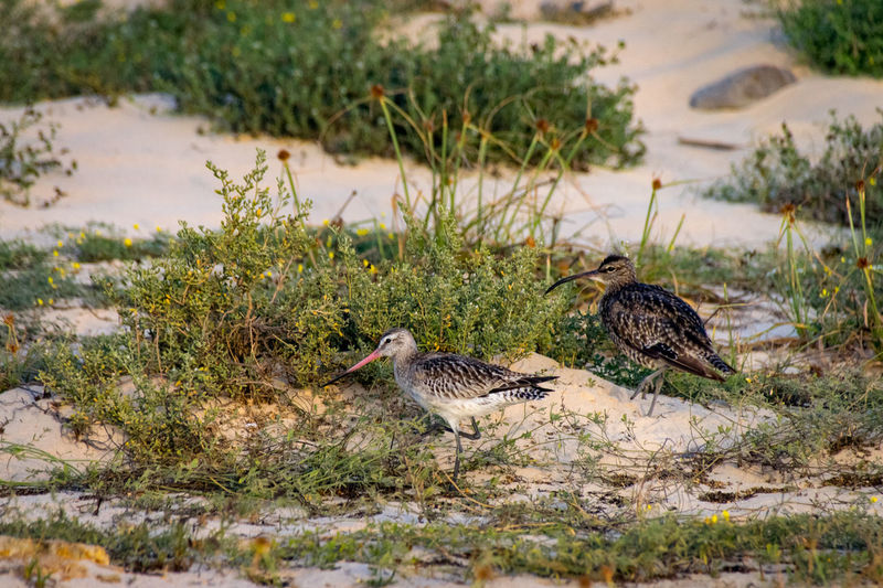 Eurasian Whimbrel on sand beach at sunset Birds At Sunset Boa Vista Cape Verde Cape Verde Beach Eurasian Whimbrel Africa Animal Themes Animal Wildlife Animals In The Wild Bird Birds At Sunrise Boa Vista, Cabo Verde Curlew Day Eurasian Curlew Nature No People Outdoors Sunset Whimbrel