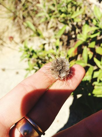 Person Holding Focus On Foreground Spiked Close-up Plant Thorn Nature Day Uncultivated Personal Perspective Flower Head