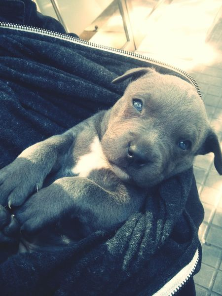 Fierce Pitbull Animals Dogs Pitbull Terrible I Love Dogs