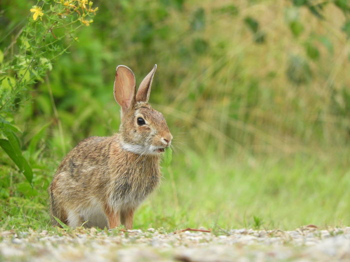 Amazing Nature Beauty In Nature, Nature Photograhy Rabbit Photography Awesome_nature_shots Peter Cottontail Ear Looking At Camera Portrait Full Length Eating Close-up Grass Plant Rabbit - Animal Rodent Easter Bunny Rabbit
