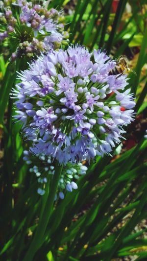 Flower Purple Flower Bee Beeandflower Nature Showcase July Showcasejuly