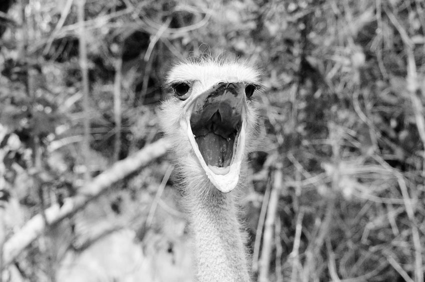 Animal Themes One Animal Animals In The Wild Animal Wildlife Ostrich Day Outdoors Nature No People Looking At Camera Bird Portrait Close-up Mammal Domestic Animals From Where I Stand Animals In The Wild Nature Animal Head  Focus On Foreground Strauss Mexico