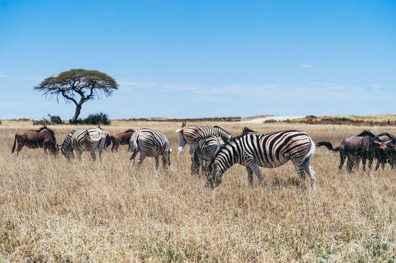 Zebras on landscape against sky