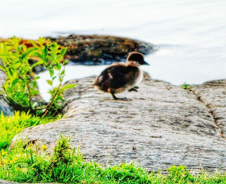 Bird Littoisten Järvi Beauty In Nature Close-up Rocks And Water
